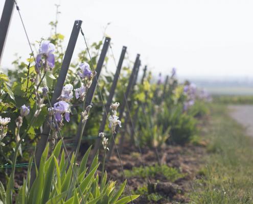 Das Bild zeigt die Pflanzenvielfalt im Weinberg in der Champagne