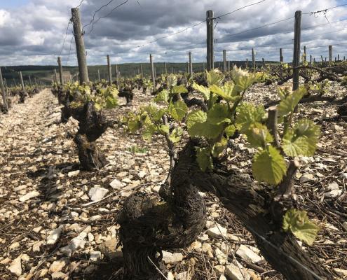 Das Bild zeigt ein Rebpflanzgut - Weinberg in die Champagne