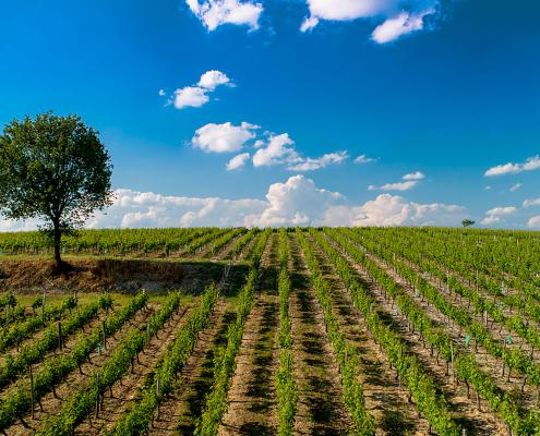 Das Bild zeigt einen Weinberg im Loire Tal - Domaine des Varinelles - Crémant de Loire AOP