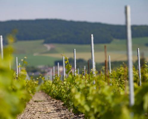 Das Bild zeigt einen Weinberg in die Champagne
