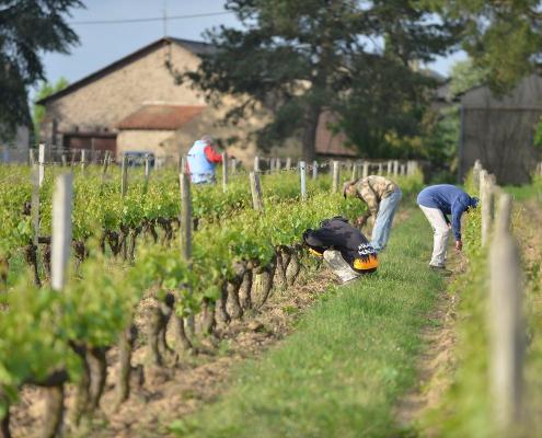 Das Bild zeigt die Arbeit in Grün im Weinberg - Weingut Château de la Viaudière - Crémant de Loire AOP
